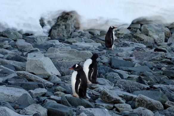 Venus - Archipel Melchior - Manchots papous - Antarctique