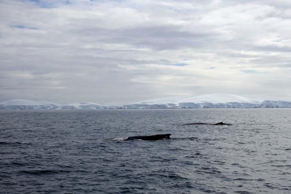 Venus - Gerlache - Baleines à bosses - Antarctique