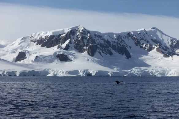Venus - Antarctique - Baleine